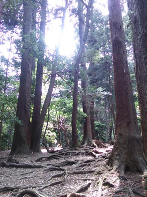 鞍馬山の木
